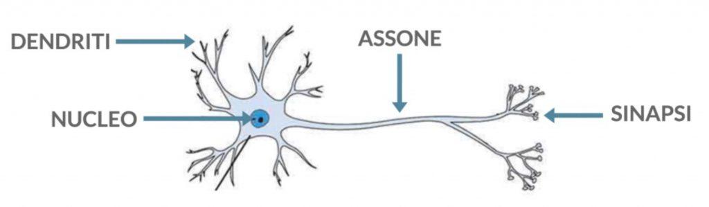 Figura 11 La struttura di un neurone